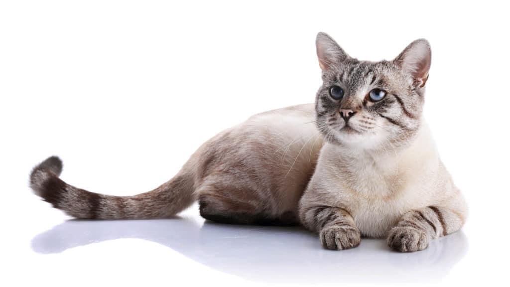 Quand donner la pilule à un chat qui vient d'accoucher?